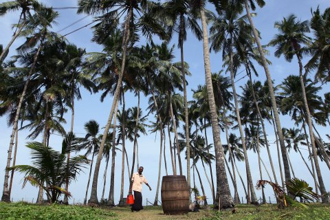 Workers Collect And Ferment Sap To Make Palm Wine